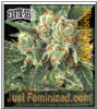 Exotic Blue Monkey Female 5 Marijuana Seeds